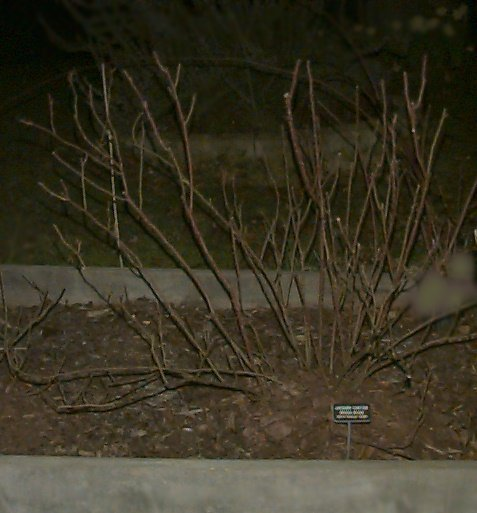 'Comte de Chambord' after pruning, March 11, 2002